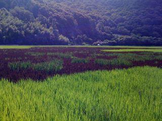 Ricefieldart1